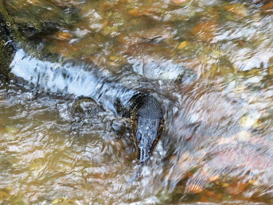 Goanna im Fluss