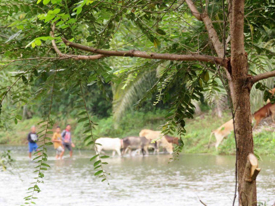 Kuhherde am Fluss