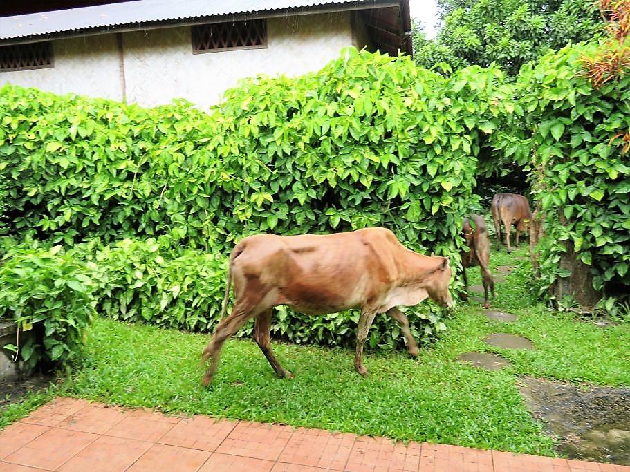 Kühe-zu-Besuch