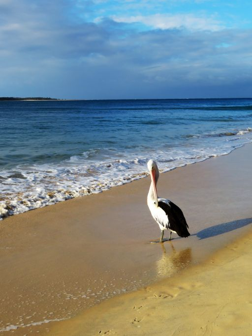 Stolzer Strandläufer