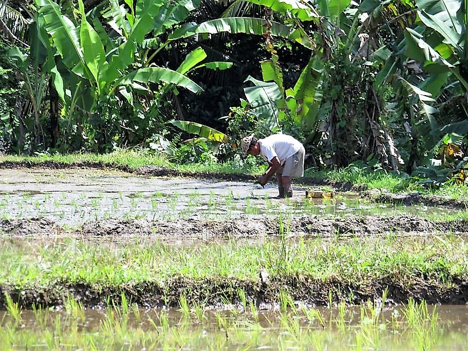 Reisbauer beim Pflanzen