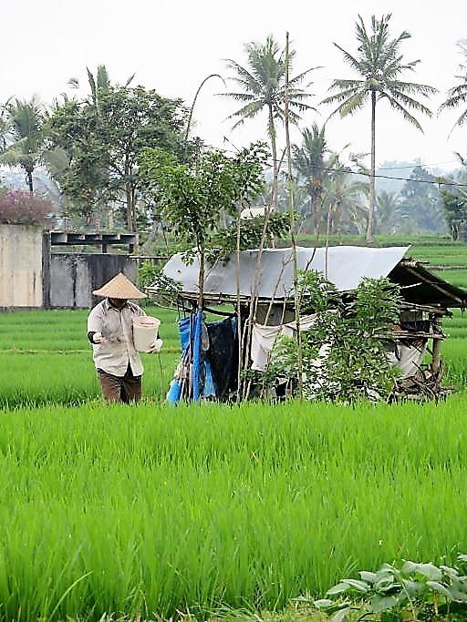 Reisbauer im Feld